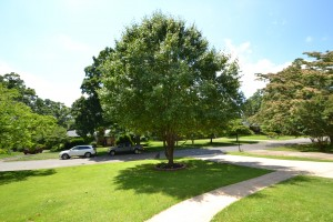Large tree in middle of front yard with green grass cement driveway and sidewalk